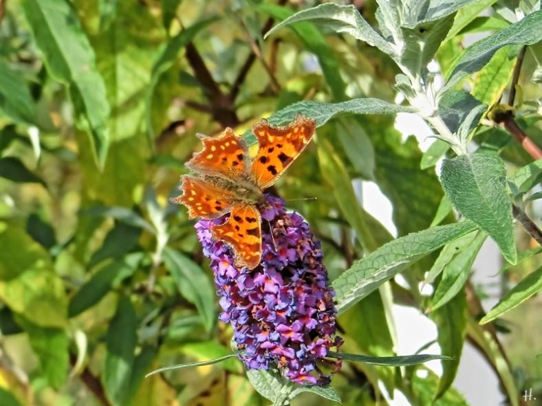 2020-11-01 LüchowSss Garten C-Falter (Polygonia c-album) an Schmetterlingsflieder (Buddleja davidii) (2)