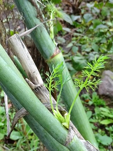 2020-11-02 LüchowSss Garten Fenchel (Foeniculum vulgare) neuer Austrieb aus altem Stängel