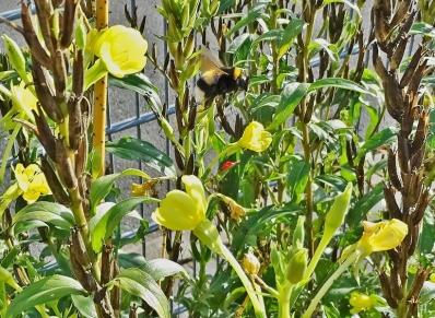 2020-11-02 LüchowSss Garten Gewöhnliche Nachtkerze (Oenothera biennis) + Erdhummel (Bombus lucorum-terrestris-Komplex) Jungkönigin (4)
