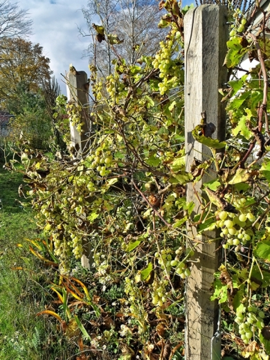 2020-11-02 LüchowSss Garten Wein u.a. (2)