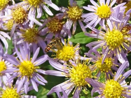 Herbstastern & Insekten Anfang November | Veröffentlicht am 2020/11/10 von puzzleblume