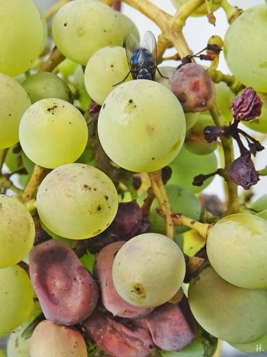 2020-11-03 LüchowSss Garten bläuliche Graue Fleischfliege (Sarcophaga carnaria) an Weintrauben