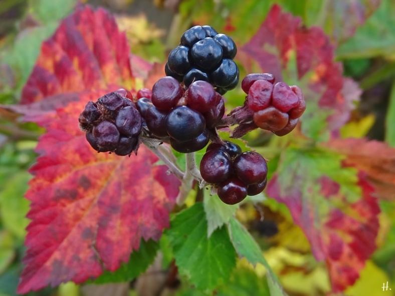 2020-11-03 LüchowSss Garten Brombeere (Rubus fruticosus agg.)