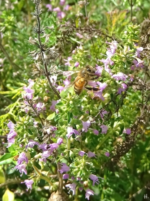 2020-11-03 LüchowSss Garten Feldthymian (Thymus serpyllum) + Honigbiene (Apis mellifera) (1)