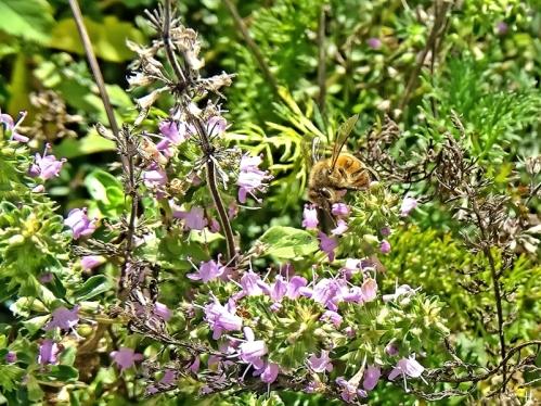 2020-11-03 LüchowSss Garten Feldthymian (Thymus serpyllum) + Honigbiene (Apis mellifera) (2)