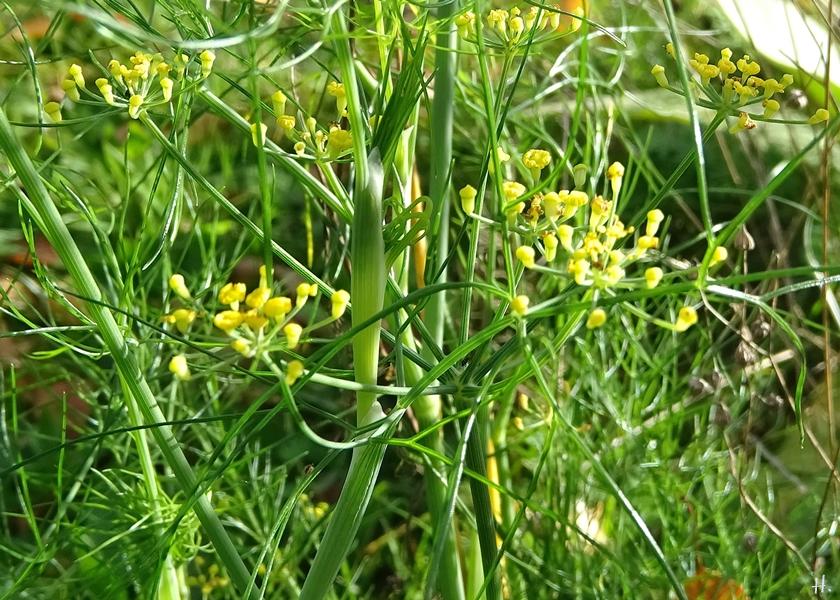 2020-11-03 LüchowSss Garten Fenchel (Foeniculum vulgare) Jungpflanze (1)