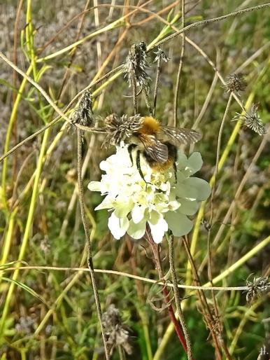 2020-11-03 LüchowSss Garten Gelb-Skabiose (Scabiosa ochroleuca) + Ackerhummel (Bombus pascuorum) Jungkönigin