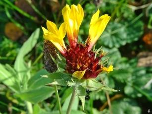 Kokardenblume (Gaillardia spec.)