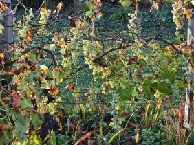 2020-11-05 LüchowSss Garten Weintrauben (Span. Reben)