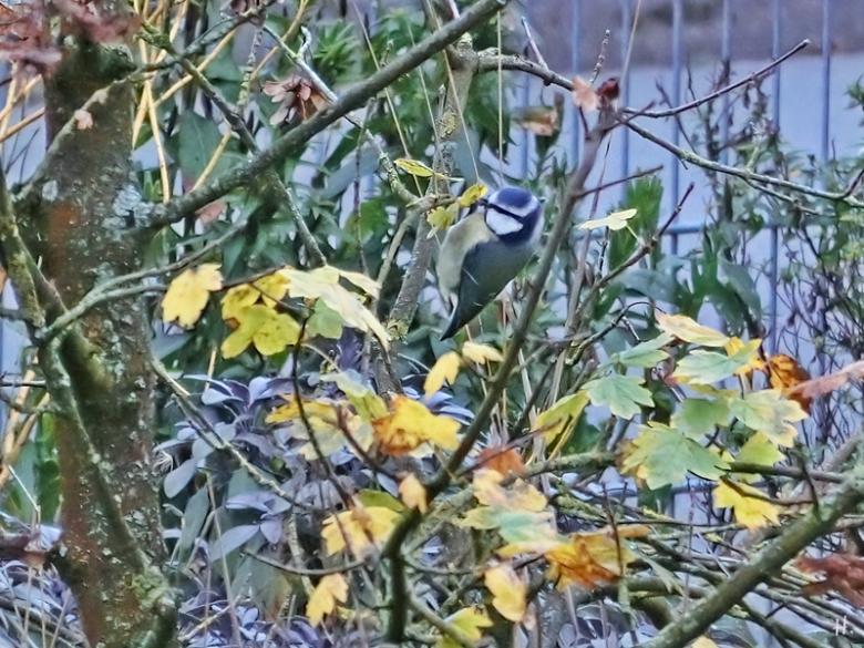2020-11-06 LüchowSss Garten Blaumeise (Cyanistes caeruleus) im Feldahorn (Acer campestre) (5)