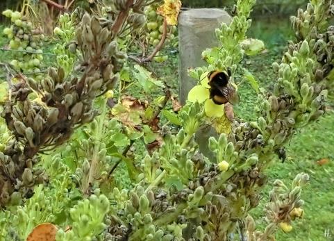 2020-11-06 LüchowSss Garten Dunkle Erdhummel (Bombus terrestris) + Kandelaber-Königskerze (Verbascum olympicum)