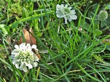 2020-11-07 LüchowSss Garten Gelb-Skabiose (Scabiosa ochroleuca) + Hain-Schwebfliege (Episyrphus balteatus)