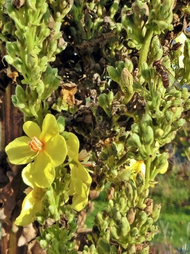 2020-11-07 LüchowSss Garten Kandelaber-Königskerze (Verbascum olympicum) + Hain-Schwebfliege (Episyrphus balteatus)