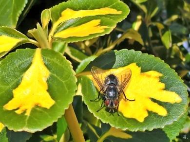 Kletter- bzw. Kriechspindel (Euonymus fortunei) + Fliege