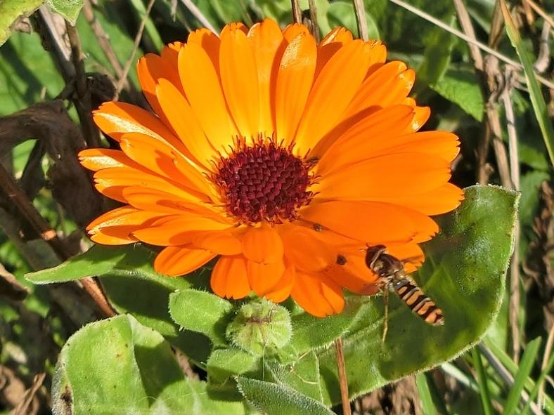 2020-11-07 LüchowSss Garten Ringelblume (Calendula officinalis) + Hain-Schwebfliege (Episyrphus balteatus)