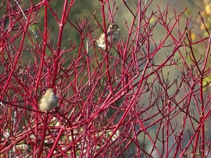 2020-11-08 LüchowSss Garten Rotholz- bzw. Sibirischer Hartriegel (Cornus alba 'Sibirica') + Haussperlinge (Passer domesticus)