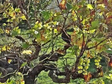 2020-11-08 LüchowSss Garten spanische Weinreben ( Vitis vinifera subsp. vinifera) mit weiblicher Amsel (Rurdus merula) (4)