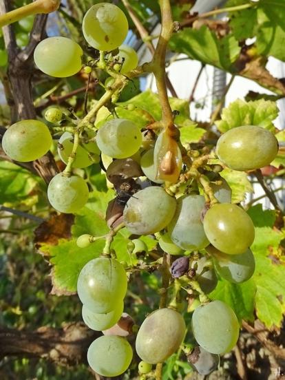 2020-11-08 LüchowSss Garten spanische Weinreben (Vitis vinifera subsp. vinifera) mit Weintrauben (1)