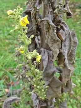 2020-11-11 LüchowSss Garten Kandelaber-Königskerze (Verbascum olympicum) mit jungen 'Armen' (5)