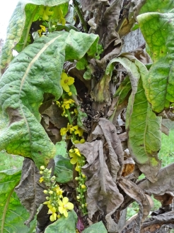 Kandelaber-Königskerze (Verbascum olympicum)