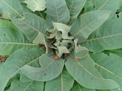 2020-11-11 LüchowSss Garten Kandelaber-Königskerzen (Verbascum olympicum)-Rosette 2. Jahr (2)