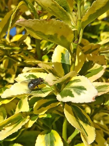 Kletter- bzw. Kriechspindelstrauch (Euonymus fortunei) + Fliege