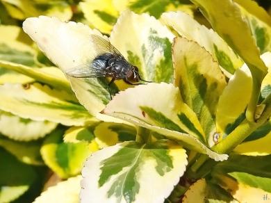 2020-11-13 LüchowSss Garten mittags Kletter- bzw. Kriechspindelstrauch (Euonymus fortunei) + Fliege (2)