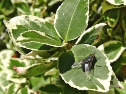 2020-11-13 LüchowSss Garten mittags Kletter- bzw. Kriechspindelstrauch (Euonymus fortunei) + Fliege (3)