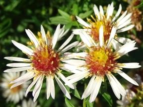 'Novemberkraut' (Symphyotrichum)