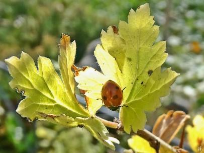 Stachelbeere (Ribes uva-crispa) + Marienkäfer