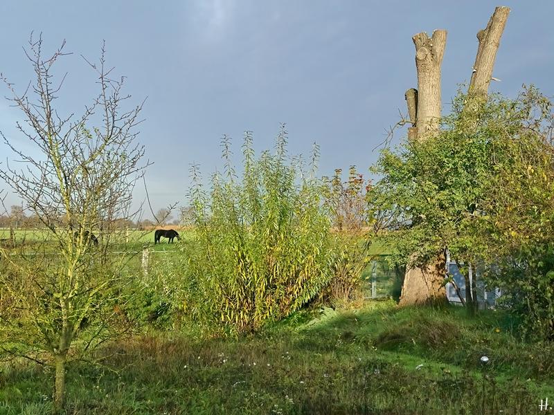 2020-11-13 LüchowSss Garten morgens Bruch-Kopfweide (Salix fragilis) (1)