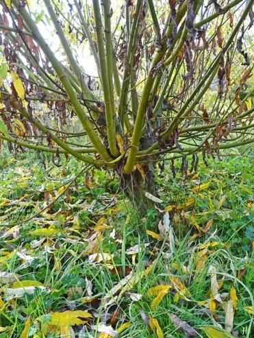 "Bruchweide (Salix fragilis) - ""Kopfweide"""
