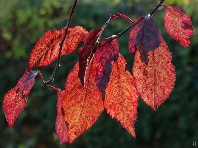Blutpflaume (Prunus cerasifera)