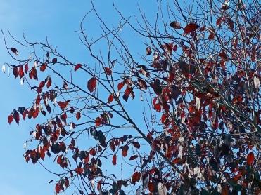 2020-11-15 LüchowSss Garten Blutpflaume (Prunus cerasifera) 'Nigra' (2)