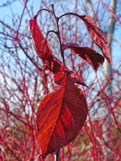 2020-11-15 LüchowSss Garten Blutpflaume (Prunus cerasifera) 'Trailblazer' bzw. 'Hollywood' vor Rotholz-Hartriegel (Cornus alba 'Sibirica')
