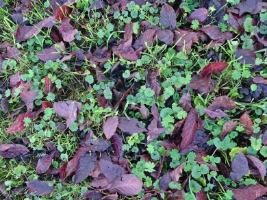 Blutpflaumen-Blätter am Boden