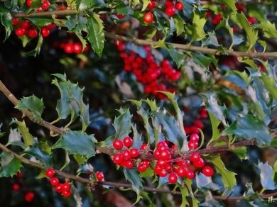 Beeren an der Europäischen Stechpalme (Ilex aquifolium)