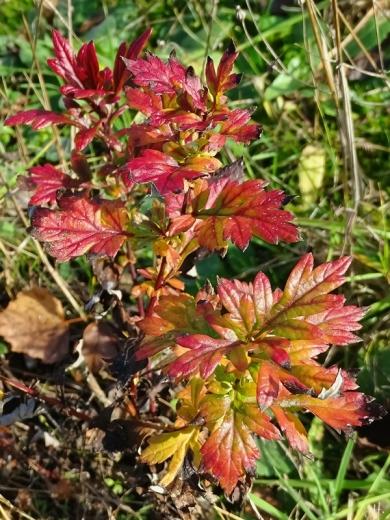 Gewöhnlicher Beifuss (Artenisia vulgare), rot verfärbt