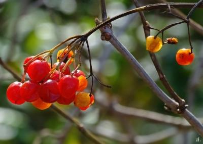 Beeren vom Gewöhnlichen Schneeball (Viburnum opulus)