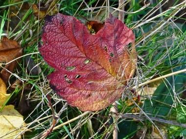 2020-11-15 LüchowSss Garten Gewöhnlicher Schneeball (Viburnum opulus) (4)