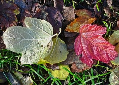 2020-11-15 LüchowSss Garten Gewöhnlicher Schneeball (Viburnum opulus) (5)