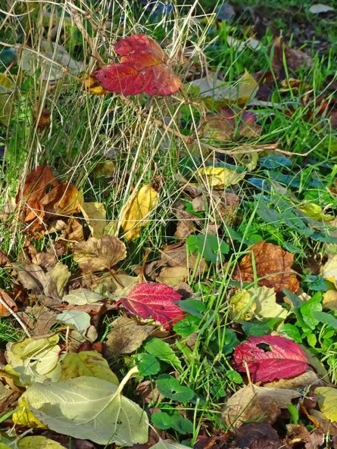 Blätter vom Gewöhnlichen Schneeball (Viburnum opulus)