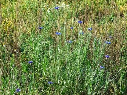 2020-11-15 LüchowSss Spaziergang (2) Kornblumen (Centaurea cyanus)