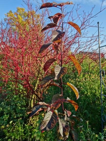 2020-11-16 LüchowSss Garten Blutpflaume (Prunus cerasifera) namenloser Wurzelschössling neben Rotholz-Hartriegel
