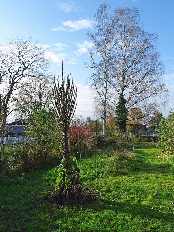 2020-11-16 LüchowSss Garten Kandelaber-Königskerze (Verbascum olympicum)