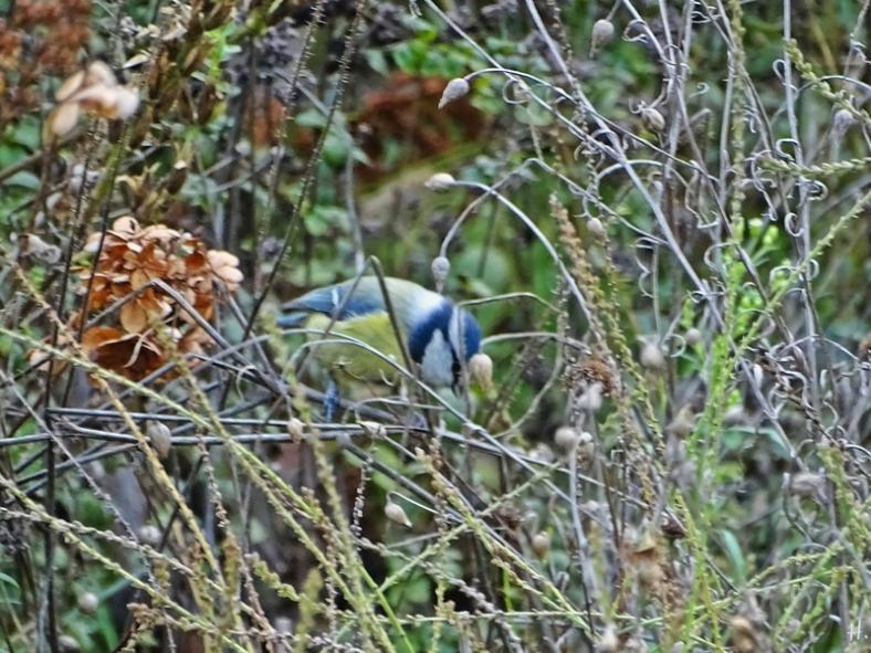 2020-11-18 LüchowSss Garten Blaumeise (Cyanistes caeruleus) hinter Eisenkraut-Stängeln