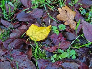 Blutpflaumen-Laub + je ein Hasel- u. ein Eichenblatt am Boden