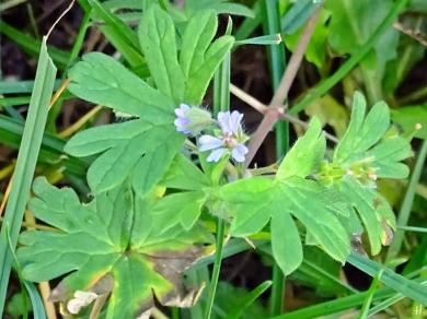 Kleiner Storchschnabel (Geranium pusillum)