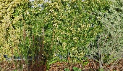 2020-11-20 LüchowSss Garten mehrere Kletterspindeln (Euonymus fortunei) am Zaun (1)