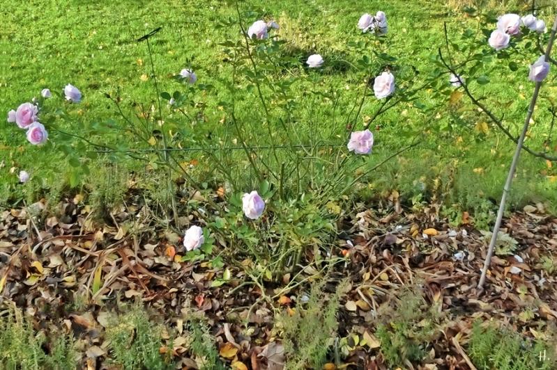 2020-11-20 LüchowSss Garten Rose 'Asprin' (1)